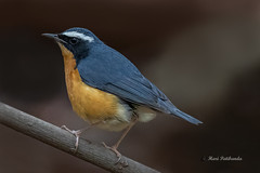 A Rare Indian Blue Robin in the dry bush
