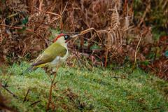 Photo of Green Woodpecker