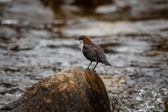 Photo of Dipper on the Tavy