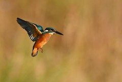 Martin pêcheur , ( Alcedo atthis ) Kingfisher