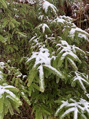 Photo of Snow covered Douglas fir tree