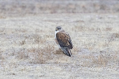 Ferruginous hawk with snow falling