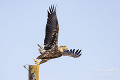 Young eagle takes flight