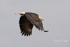 Bald eagle takes flight