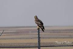 Young bald eagle on a fence