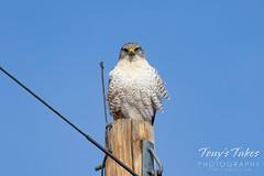 Ferruginous hawk hanging out