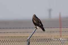 Focused rough legged hawk