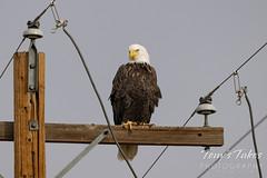 Pretty bald eagle