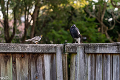 Adult Australian magpie stands cool/firm in the face of verbal and stomping onslaught by aggressive Noisy Miner defending its territory