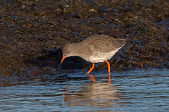 Photo of Common Redshank, Kingsbarns, Fife