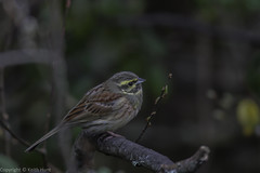 Cirl Bunting (male) - (Emberiza cirlus) 2 clicks for zoom