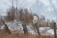 Snowy Owl  ( Explored )