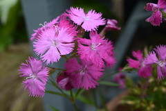 Photo of Perennial Dianthus Flowers in Trelissick Garden, National Turst