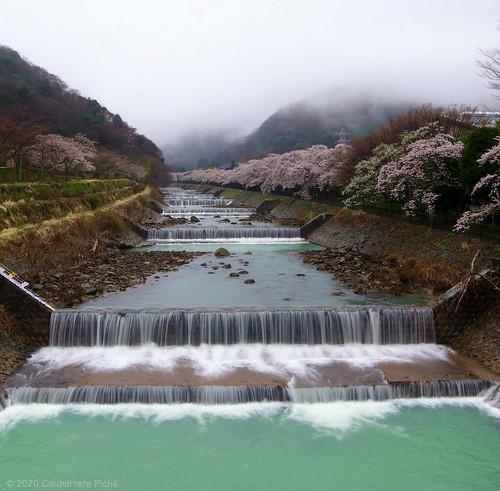 Yoshino Cherry Blossoms on Banks of Hayakawa River