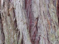 Photo of Incense Cedar