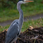 Grey Heron @ Hendre Lake, St Mellons, Cardiff