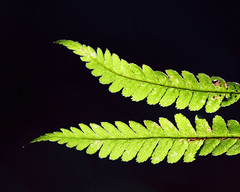 Photo of Fern Fronds