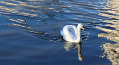 Photo of 12th January 2021.  Swan on the Manchester Ship Canal, Salford Quays, Greater Manchester