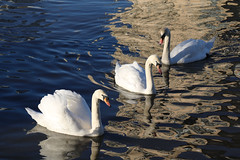 Photo of 12th January 2021.  Swans on the Manchester Ship Canal,  Salford Quays, Greater Manchester