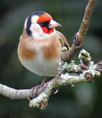 Photo of Goldfinch 2