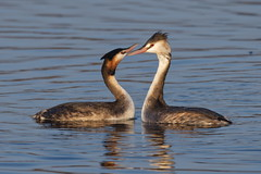 Photo of Great crested grebe