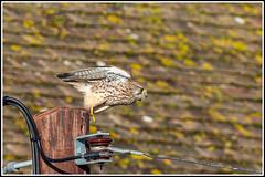 Photo of Kestrel (Falco tinnunculus)