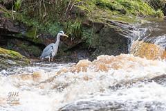 Photo of 20210117 001 Grey Heron (Wm)