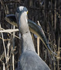 Great Blue Heron Catches A Bluefish That Is Much Too Large to Swallow