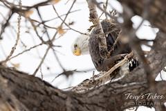 Watchful bald eagle