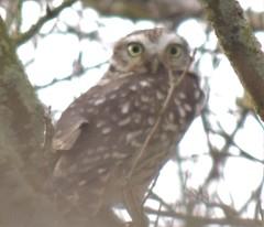 Photo of Little Owl - Timberland Fen 17 Jan 21