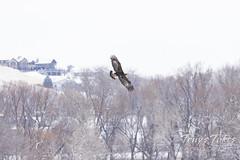 Female golden eagle on the hunt
