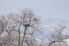 Bald eagle keeping watch over its nest
