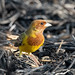 A Red Headed Bunting Foraging in the burnt paddyfields