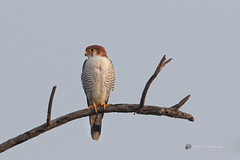A Red Necked Falcon after finishing a catch