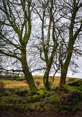 Photo of Three trees trunks , Johnstone, Renfrewshire, Scotland, UK