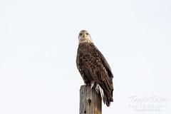 Bald eagle checking on the photographer