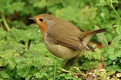 Photo of garden Robin