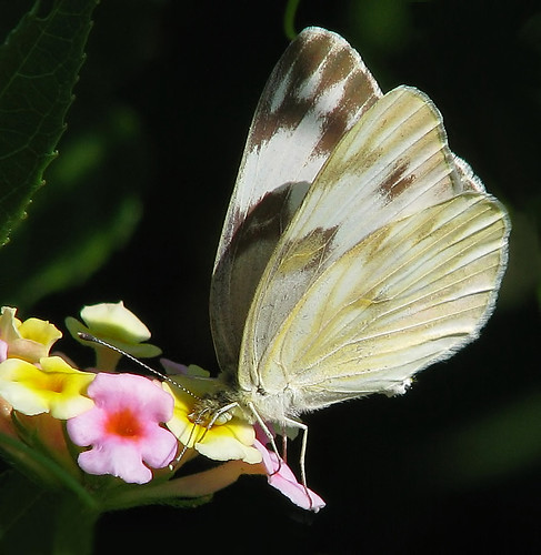 Checkered White on lantana  ( Pontia protodice ) - RARE