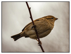 Photo of House Sparrow - Adult Female