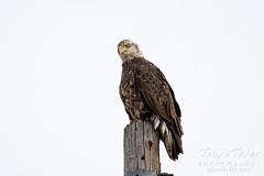 Beautiful young bald eagle