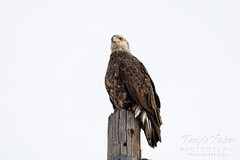 Young bald eagle looking regal