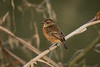 Saxicola rubicola (European Stonechat) female - Muscicapidae - Ferry Meadows, Nene Park, Peterborough, UK