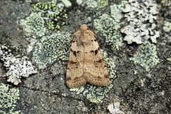 Photo of 73.366 Plain Clay (Eugnorisma depuncta), Crathie, Aberdeenshire