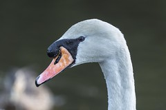Photo of Mute Swan close up