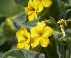Alkanna orientalis. Yellow Alkanet