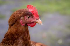Photo of Hen
