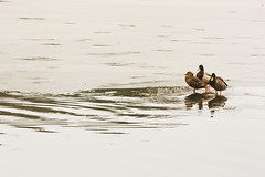 Photo of Duck and drakes on ice.