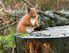 Red Squirrel at Morton lochs