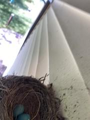 Robin Nest  (7)