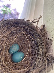 Robin Nest  (4)